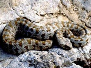Blunt-nosed-viper