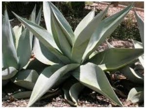 Agave plant 2
