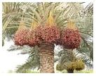 Date Palm sml