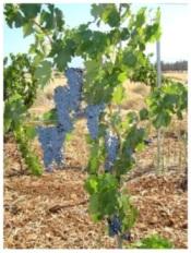 St Hilarian vines