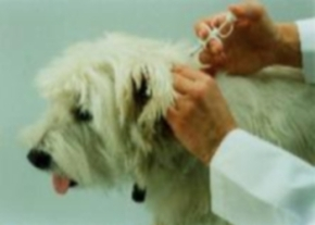 Dog micro chipping imaGE