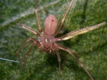 Spiders_mediterranean recluse