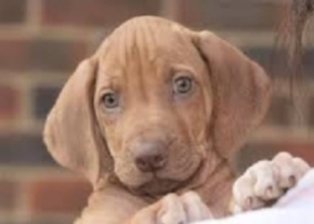 KAR puppy image