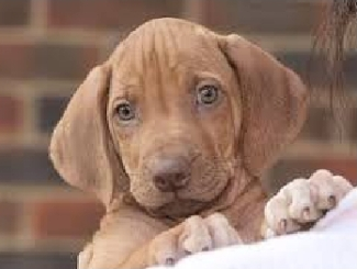 KAR puppy