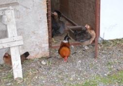 Chickens at rear of restaurant