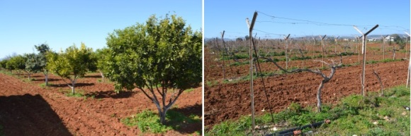 Fruit trees and Grape Vines