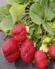 Strawberry sml 80