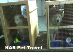 Samoyeds in transit image