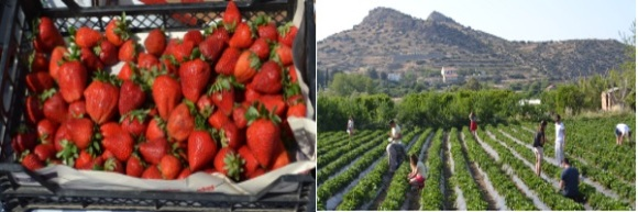 Strawberries and Strawberry Pickers