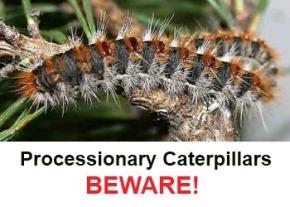 processionary-cataerpillars